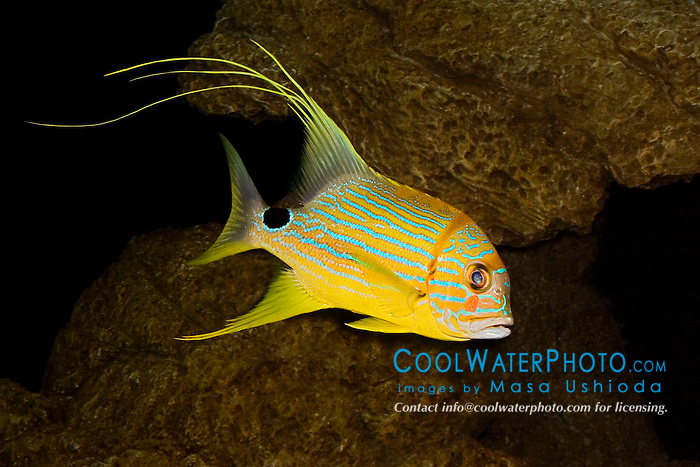 sailfin snapper or blue-lined sea bream, Symphorichthys spilurus, Indo-Pacific Ocean (c)