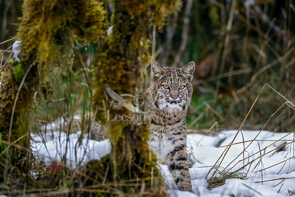 Wild Bobcat (Lynx rufus).  Olympic National Park, WA.  November.  (Completely wild, non-captive cat.)  Several day old snow patch--much has melted off.