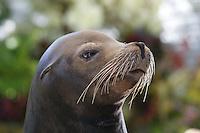 California Sea Lion, Zalophus californianus (Captive)