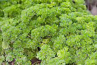 "Petersilie, Blatt-Petersilie, Blattpetersilie, ""Mooskrause"", Petroselinum crispum, syn. Petroselinum sativum, Parsley, garden parsley"
