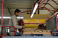 EGYPT, Farafra, potato farming in the desert, packing house of Daltex Corporation, sorting of potatos after harvest  / AEGYPTEN, Farafra, Daltex Corporation, Kartoffelanbau in der Wueste, Sortierung von Kartoffeln in der Packhalle
