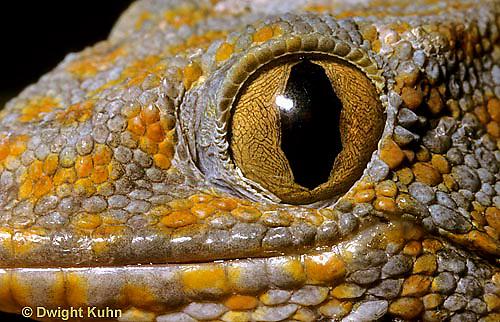 GK05-006z  Tokay Gecko eye slit Gekko gecko.