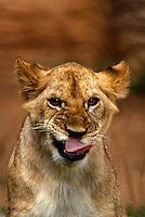 Lioness licks her lips making a menacing and amusing expression, Kenya