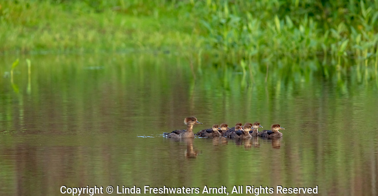 Hooded merganser hen and ducklings on a wilderness lake in northern Wisconsin.