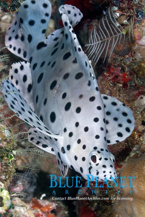 Barramundi, Cromileptes altivelis, intermediate phase, Solomon Islands, Pacific Ocean
