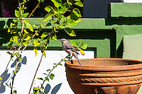 US, Florida, Key West. Ernest Hemingway Home. Northern Mockingbird.