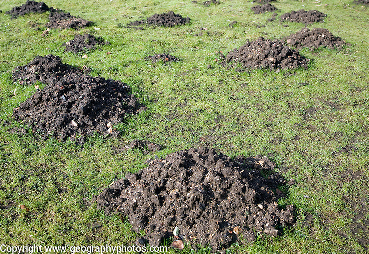 Mole hills in grass garden lawn