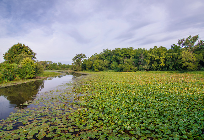 Lily pads fill backwater areas of the DesPlaines River just before it meets the DuPage River to form the Illinois River, DesPlaines Fish and Wildlife Area, Will County, Illinois.