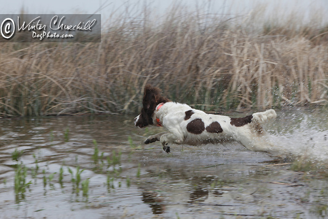 The English Springer Spaniel English Springer Spaniel  hunting Shopping cart has 3 Tabs:<br /> <br /> 1) Rights-Managed downloads for Commercial Use<br /> <br /> 2) Print sizes from wallet to 20x30<br /> <br /> 3) Merchandise items like T-shirts and refrigerator magnets