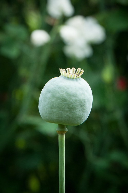 Opium poppy seedhead (Papaver somniferum), mid July.