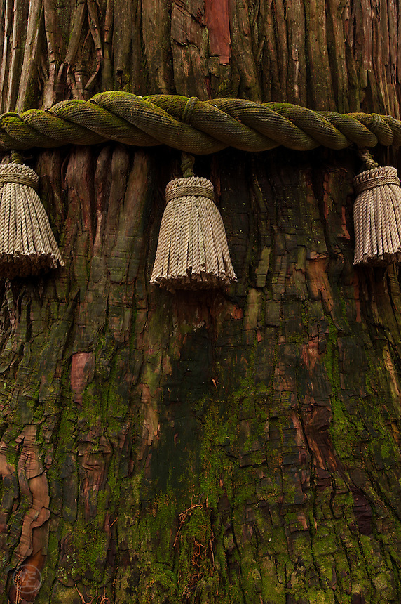 Sacred ropes mark a holy tree at the Togakushi Inner Shrine, Japan.