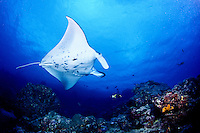 Manta Ray (Manta birostris) flys underwater off the Island of Yap in Micronesia.
