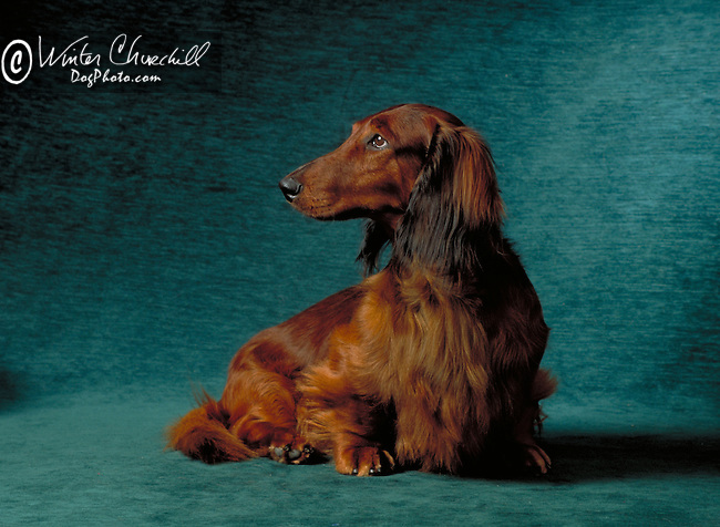 Red Dachshund looking wistfully up to heaven Shopping cart has 3 Tabs:<br /> <br /> 1) Rights-Managed downloads for Commercial Use<br /> <br /> 2) Print sizes from wallet to 20x30<br /> <br /> 3) Merchandise items like T-shirts and refrigerator magnets