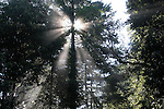 sun in coast redwoods at Big Basin SP