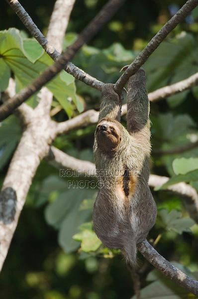 Brown-throated Three-toed Sloth, Bradypus variegatus , male in Cecropia Tree, Manuel Antonio National Park, Central Pacific Coast, Costa Rica, Central America, December 2006