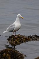 Eismöwe, Eismöve, Eis-Möwe, Eis-Möve, Möwe, Möwen, Larus hyperboreus, glaucous gull, gull, gulls, Le Goéland bourgmestre, Island, Iceland