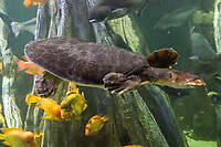 Schildkröte im Aquarium von Palma de Mallorca - Palma de Mallorca 26.05.2019: Aquarium von Mallorca in Plama