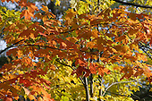 Late fall color foliage, Lanaudiere area of Quebec