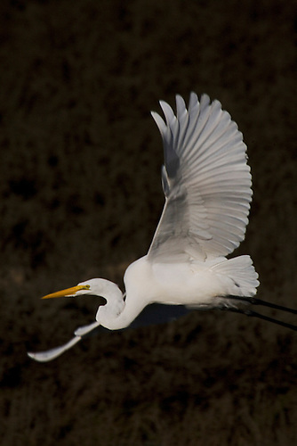 A Giant Egret takes off at the Bolsa Chica Reserve wetlands in California