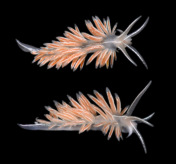 Coryphella lineata - Sea Slug