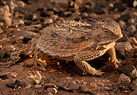 Regal Horned Lizard - Phrynosoma Solare - Basking at sunset in the Southern Arizona desert.
