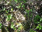 American Woodcock female on  nest