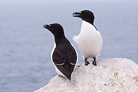 Razorbills on Machias Seal Island, Maine
