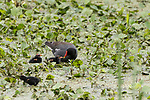 Brazoria County, Damon, Texas; newly hatched Common Moorhen chicks being fed by their parents on the surface of the slough
