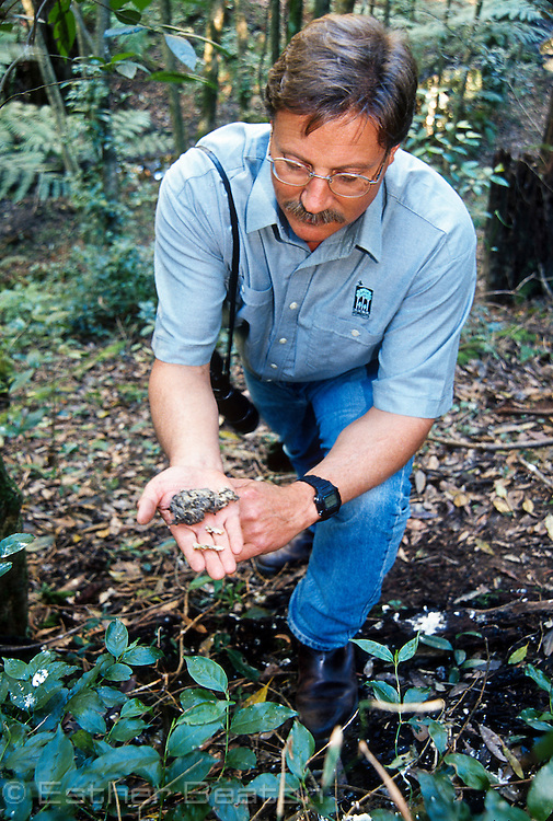 State Forests researcher holding regurgitated pellet from Powerful Owl roosting in Cumberland State Forest, their headquarters in Sydney, NSW