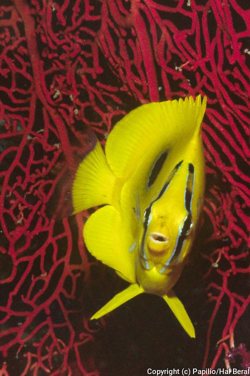 Eclipse Butterflyfish head on view.(Chaetodon bennetti).Fiji