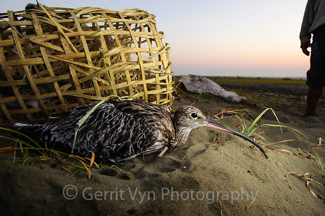 Shorebird hunter with Eurasian Curlew. This practice of hunting shorebirds is common throughout coastal Myanmar and Bangladesh where the majority of remaining Spoon-billed Sandpipers winter. As many as a hundred Spoon-billed Sandpipers were found this winter in Myanmar's Bay of Martaban. BANCA, a Myanmar based NGO, is working to curb hunting in that region by providing alternative livelihoods. They have had success with some ethnic groups but not others. Rakhine State, Myanmar. January.