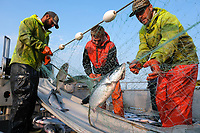 Deckhands on the F/V Okuma pick sockeye salmon out of a gillnet on the Nushagak River in Bristol Bay, Alaska on July 6, 2019. (Photo by Karen Ducey)