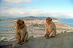 Barbary apes on the rock of Gibraltar, UK with the Spanish coast in the background.