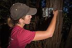 Mountain Lion (Puma concolor) biologist, Justine Smith, setting up camera trap, Santa Cruz Puma Project, Santa Cruz Mountains, California