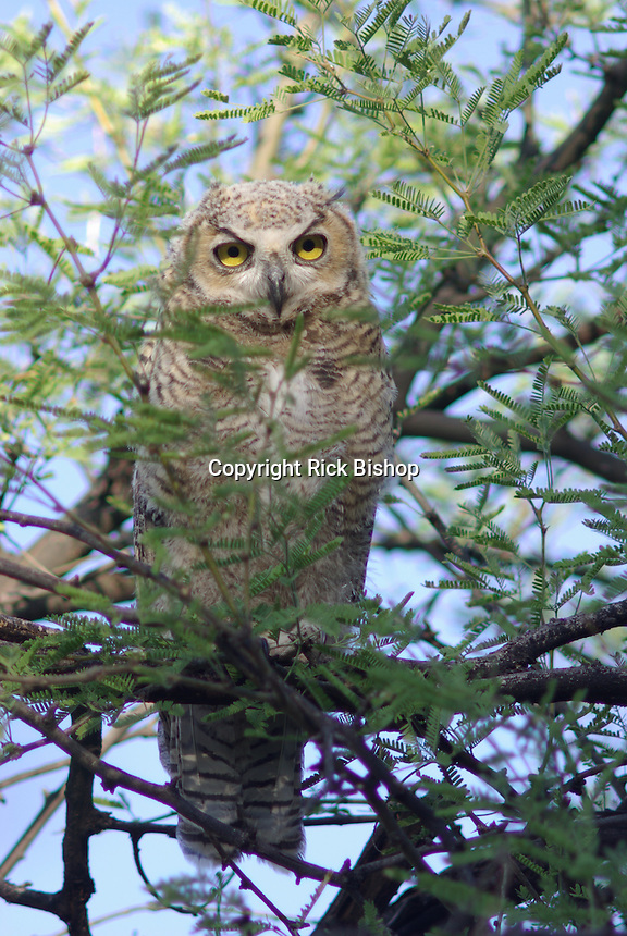Young Great Horned Owl seen in a tree after it left the nest in southern Arizona.