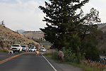 Traffic stopping for bighorn sheep (Ovis canadensis) ewe and lambs at the Montana/Wyoming State Line at Gardner Canyon, North West entrance of Yellowstone National Park, Wyoming.