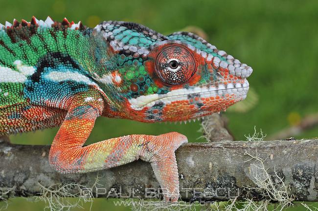 Panther Chameleon (Furcifer pardalis)