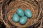 American Robin eggs (Turdus migatorius) in the nest, USA.
