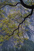 Oak branch with El Capitan in background, Yosemite National Park.