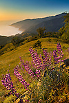 Spring Lupine wildflowers and green hills at sunset, Ventana Wilderness, Los Padres National Forest, Big Sur coast, California