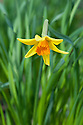 Daffodil (Narcissus 'Pepper'), mid March.