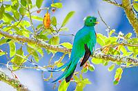 resplendent quetzal, Pharomachrus mocinno, male, in a wild avocado tree, San Gerardo de Dota, San Jose, Costa Rica, Central America