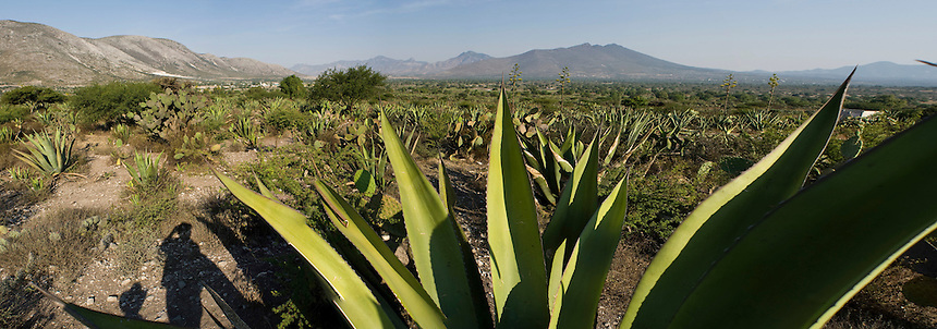 Maguey cactus fields in the Cardonal Valley, Hidalgo, Mexico. Friday, May 2, 2008