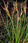 Drummond's Rush (Juncus drummondii), Sierra Nevada Range, California, USA