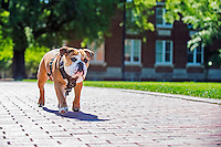 Bully XXI, Jak, walking on the brick sidewalk of the Drill Field. (photo by Beth Wynn / © Mississippi State University)