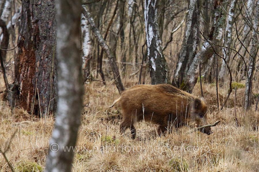 Wildschwein, Wild-Schwein, Schwarzwild, Schwarz-Wild, Schwein, Sus scrofa, wild boar, wild swine, Eurasian wild pig, pig, Le sanglier