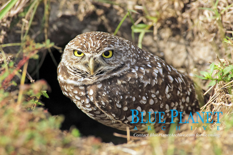 burrowing owl, Athene cunicularia, adult at nesting burrow entrance, Cape Coral, Florida, USA, North America
