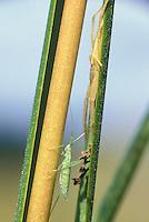 Mirid bug and spider on salt marsh cord grass; Miridae, Spartina alterniflora; NJ, Delaware Bay