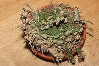 Unechte Rose von Jericho, Auferstehender Moosfarn, Auferstehungspflanze, eine poikilohydre, poikilohydrische Pflanze, wechselfeuchte Pflanze, die bei Trockenheit vertrocknet und sobald es feucht wird ergrünt, Schritt 3: Pflanze hat sich im Wasser entrollt und ist ergrünt, Selaginella lepidophylla, Resurrection Plant, Rose-of-Jericho, Moosfarngewächse, Selaginellaceae