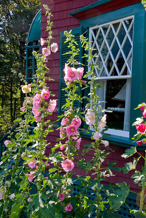 Pink hollyhocks against house plant flower stock photography hollyhocks alcea tall vertical plant pink flowers mightylinksfo